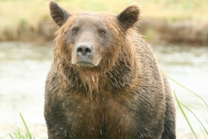 Grizzly Bear Front