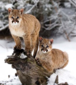 Two Cougar Cubs