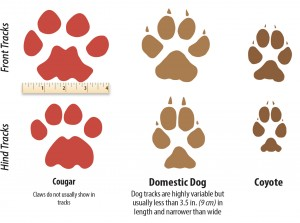 The tracks of a Cougar, Dog, and Coyote compared.