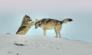 Wolf contact