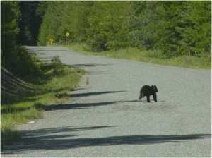 black bear running away (Rich Beausoleil WDFW)