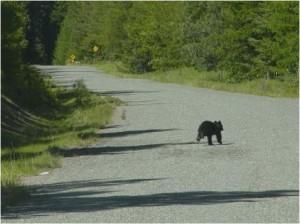 black bear running away (Rich Beausoleil WDFW)