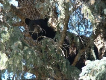 Black Bear in tree Photo