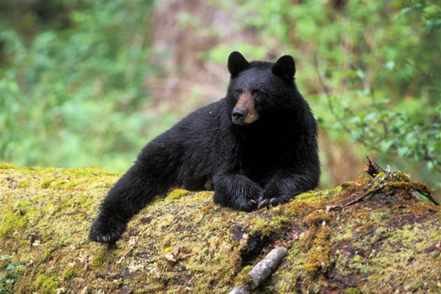 Black Bear Image
