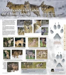 WWO Spanish Identifying Washington's Wolves