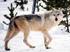 WOLF_HUNT_APPEAL_18452705_t280