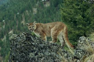 cougar on rock