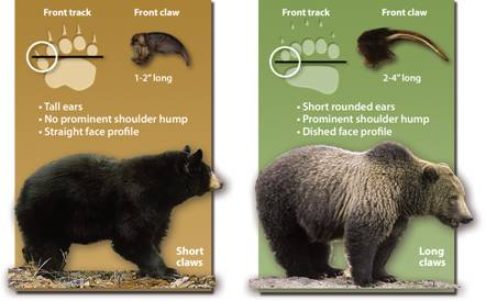 Grizzly Bear Identification - Western Wildlife Outreach