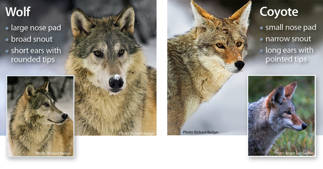 Wolf Identification - Western Wildlife Outreach