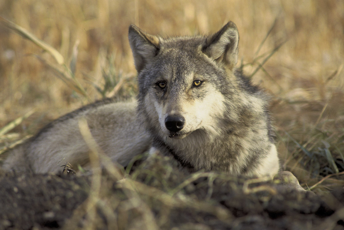 Wolves: Western Wildlife Outreach