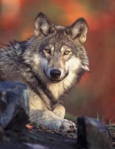 graywolf2