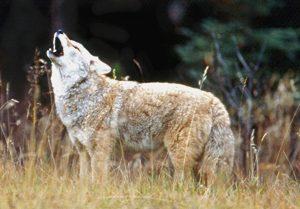 Coyote howling near Jasper, Alberta