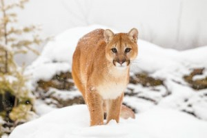 Close up of a mountain lion (cougar). ** OUTS - ELSENT, FPG, TCN - OUTS * NM, PH, VA if sourced by CT, LA or MoD **