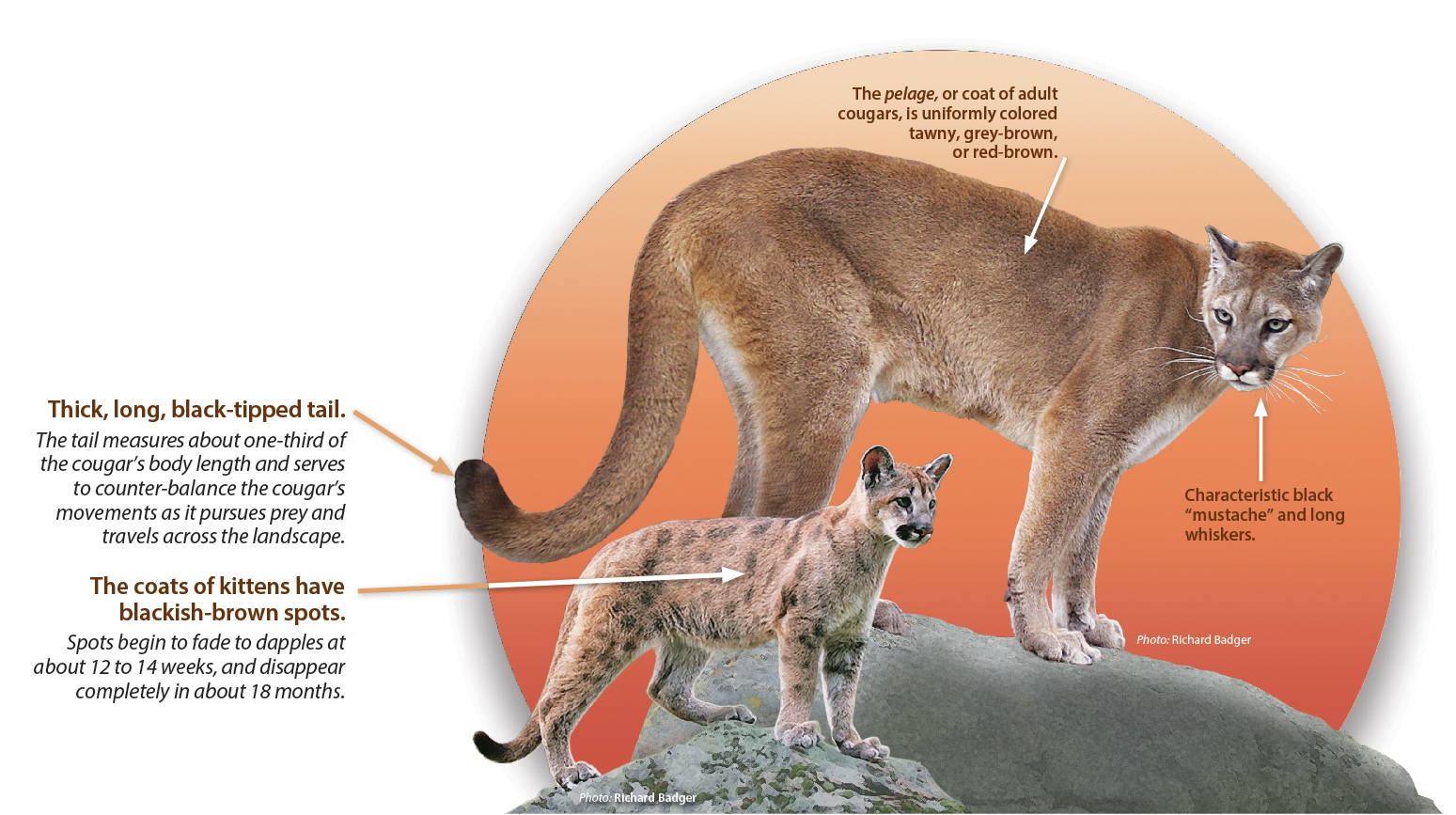 Cougar Cat Diagram Reveolution Of Wiring Heat Identification Western Wildlife Outreach Rh Westernwildlife Org 1999 Water Pump Hose 2001 Mercury Sable Engine
